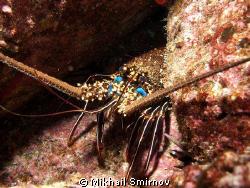 A lobster near the Darwin isl., Galapagos. by Mikhail Smirnov
