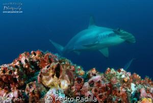 Hammerhead near turn @ Coco Island Nikon D80 with 15mm l... by Pedro Padilla