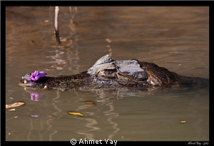 Last Cayman... Centil(cay)man... :) He's carrying a flow... by Ahmet Yay