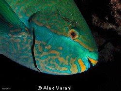 Scarus frenatus by Alex Varani