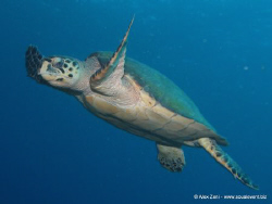 hawksbill turtle by Alex Zeni