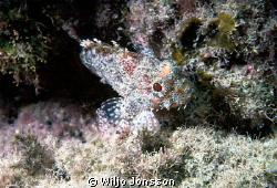 Scorpion fish at Fuerteventura, Spain  by Wiljo Jonsson