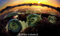sea anemonis at sunset by Dale Kobetich