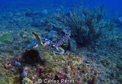 Green Turtle @ El Natural Beach Aguadilla, PR by Carlos Pérez