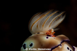 Imperator Shrimp on Nudibranch by Martin Steinmeier