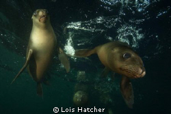 Los Islotes Sea Lions by Lois Hatcher