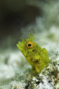 A golden phase Rough Head Blenny taken with a 60mm lens a... by Paul Colley