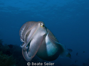 Cuttlefish at Alam Batu housereef , taken with Canon G10 by Beate Seiler