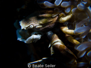 Porcelan crab at the Housereef of Alam Batu , Taken with ... by Beate Seiler