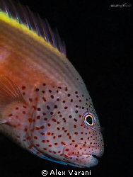 Paracirrithes forsteri - portrait by Alex Varani
