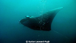 Large (6ft+ span) manta ray spotted near the surface, ope... by Eurion Leonard-Pugh
