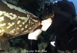 The Nasau Groupers in Little Cayman are very friendly.