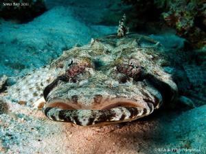 Crocodilefish by Bea & Stef Primatesta