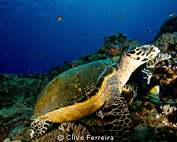 Turtle view at Antons by Clive Ferreira