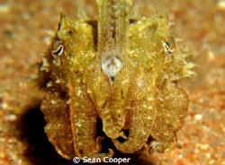 Cuttlefish by Sean Cooper