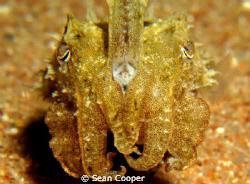 Cuttlefish by Sean Cooper