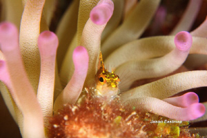 Diamond Blenny in a Symbiotic Truce with a Sea Anenome