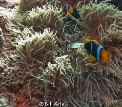 Anemone fish.  October 2010.  Hope the Spoilsport was in ... by Bill Arle