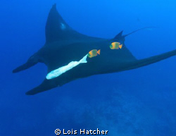 Manta with clarions.Taken at Socorro Islands the Clarion ... by Lois Hatcher