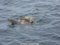 Pair of turtles spotted mating on the surface, Grenada WI... by Eurion Leonard-Pugh