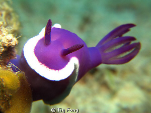 A Hypselodoris sp. laying eggs. Canon G10 in Ikelite hous... by Tig Fong