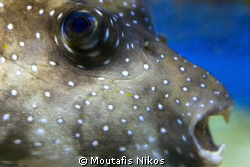 puffer , canon 5D , no strobes , sigma 105 mm by Moutafis Nikos