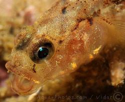 A little Goby by Vidar Aas
