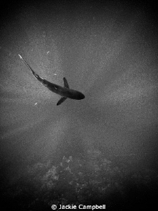 Silky shark in the sunbeams, converted to B&W in PS :) by Jackie Campbell