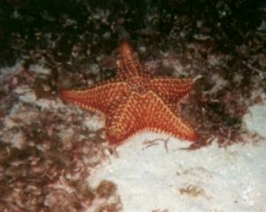 Cushion sea star, Negril, Jamaica, Sea&Sea MX5 by Clare I Sowter