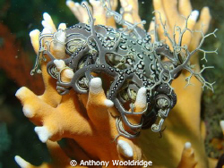 Basket star perched on a head of Noble Coral. 