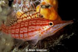 Long Nose Hawk Fish by Brian Welman