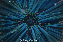 Close up of the madreporite on a Spiny Urchin.