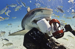 This Tiger Shark  followed a scent line in the sand right... by Steven Anderson