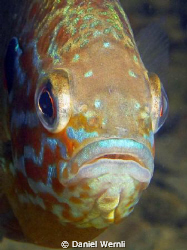 Pumpkinseed Sunfish Portrait by Daniel Wernli