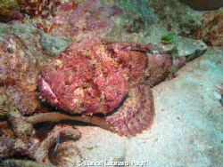 Red Stonefish lurking at the bottom of Kahonee Reef, Gren... by Eurion Leonard-Pugh