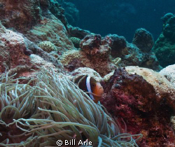 Anemone fish.  Canon G-10. by Bill Arle