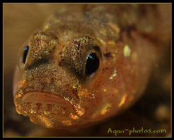 A Goby from Oslofjord Norway by Vidar Aas