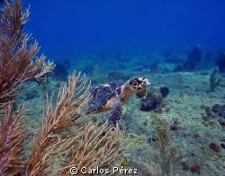 Young Male Green Turtle @ El natural Beach Aguadilla ,PR by Carlos Pérez