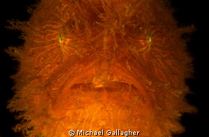 Strangler!!! Otherwise known as a striped anglerfish, fou... by Michael Gallagher