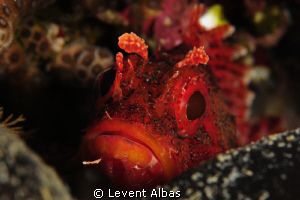 Largescaled Scorpionfish. by Levent Albas