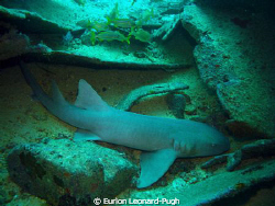 2m long nurse shark resting at the bottom of the Hema, Gr... by Eurion Leonard-Pugh