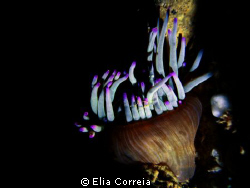 Anemone in night dive! by Elia Correia