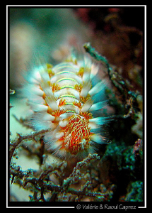 Hairy worm on its way (Hermodice carunculata) by Raoul Caprez