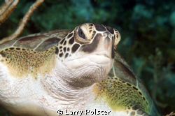 Roatan Green Turtle, D300- 60mm by Larry Polster