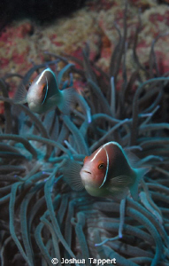 Anemone Fish in Puerta Galera by Joshua Tappert