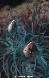Anemone Fish in Puerta Galera by Joshua Tappert