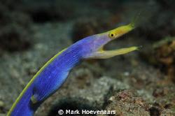 Blue Ribbon Eel by Mark Hoevenaars