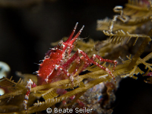 Found this one on a nightdive sitting on a rope, taken wi... by Beate Seiler