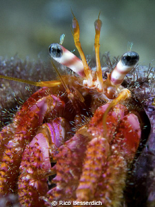Hermid crab by Rico Besserdich