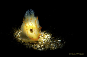 Gymnadoris Alba.  D300/Snooted w separate Ikelite DS160 w... by Richard Witmer